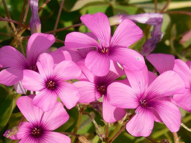 カタバミの花2