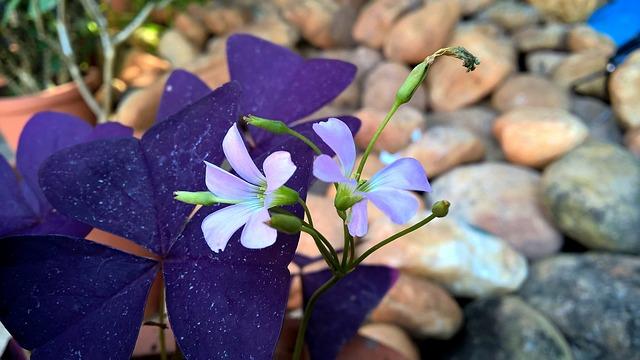 カタバミの花3