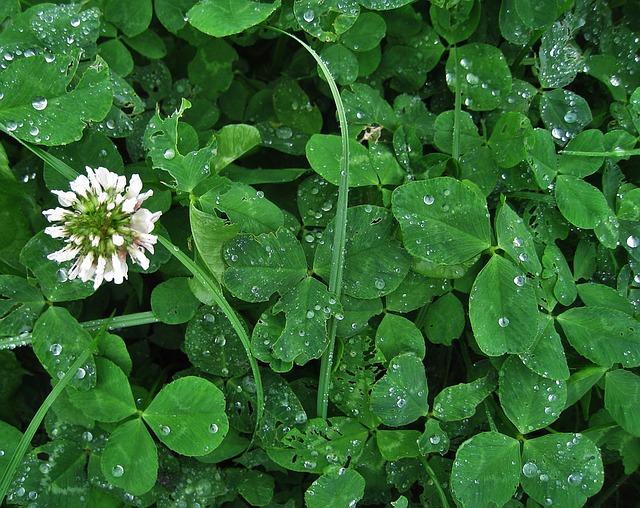 シロツメクサ花と葉